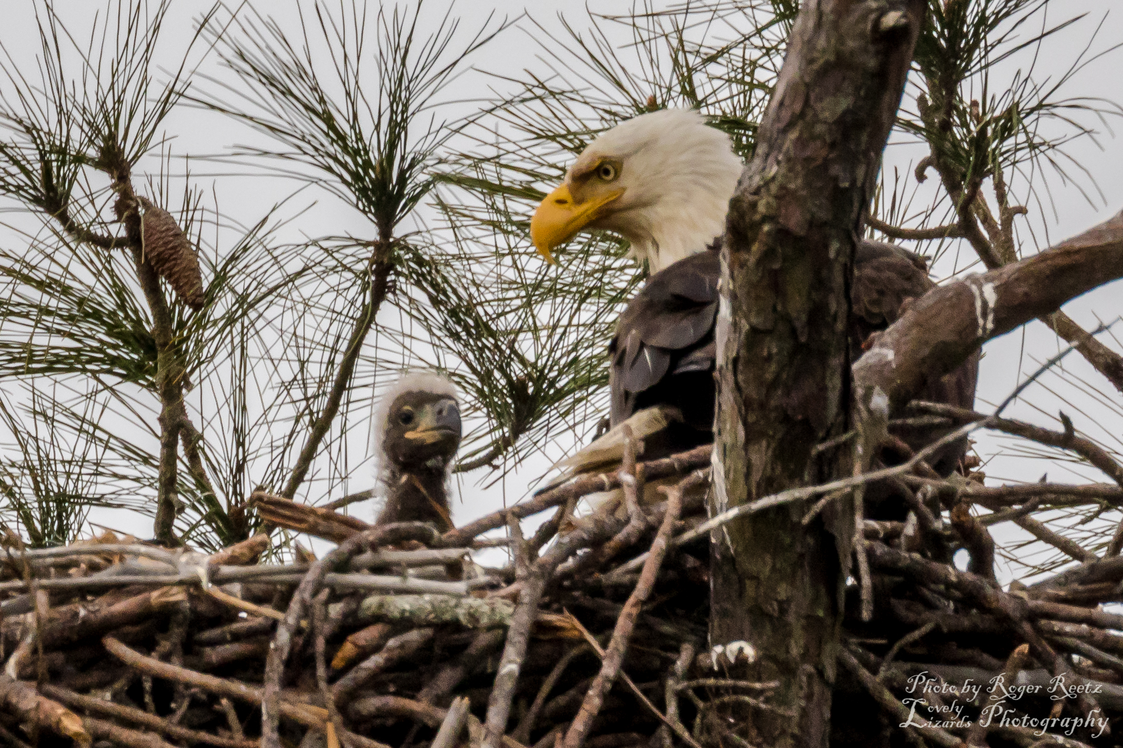Bald Eagle in nest with chick by Roger Reetz