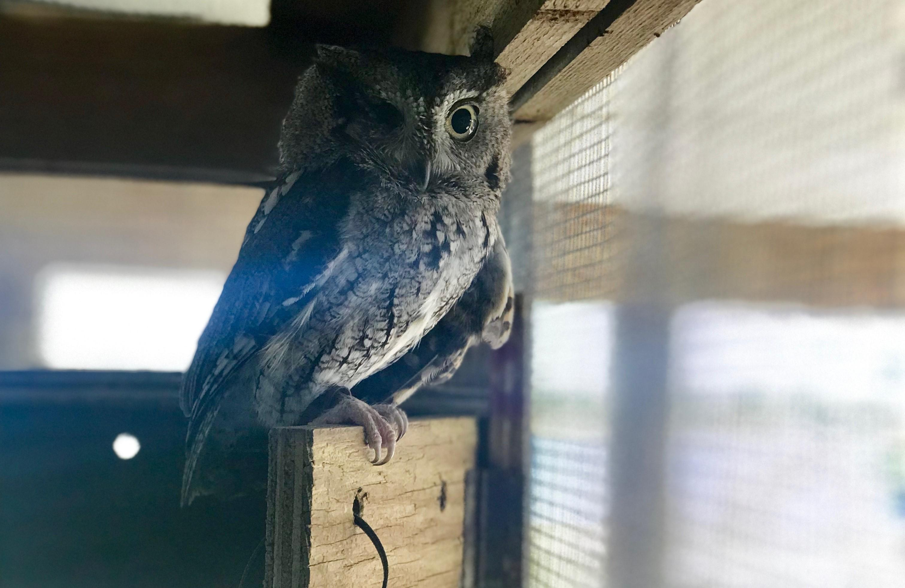 Nature Center Eastern Screech Owl. Photo by Farren Dell