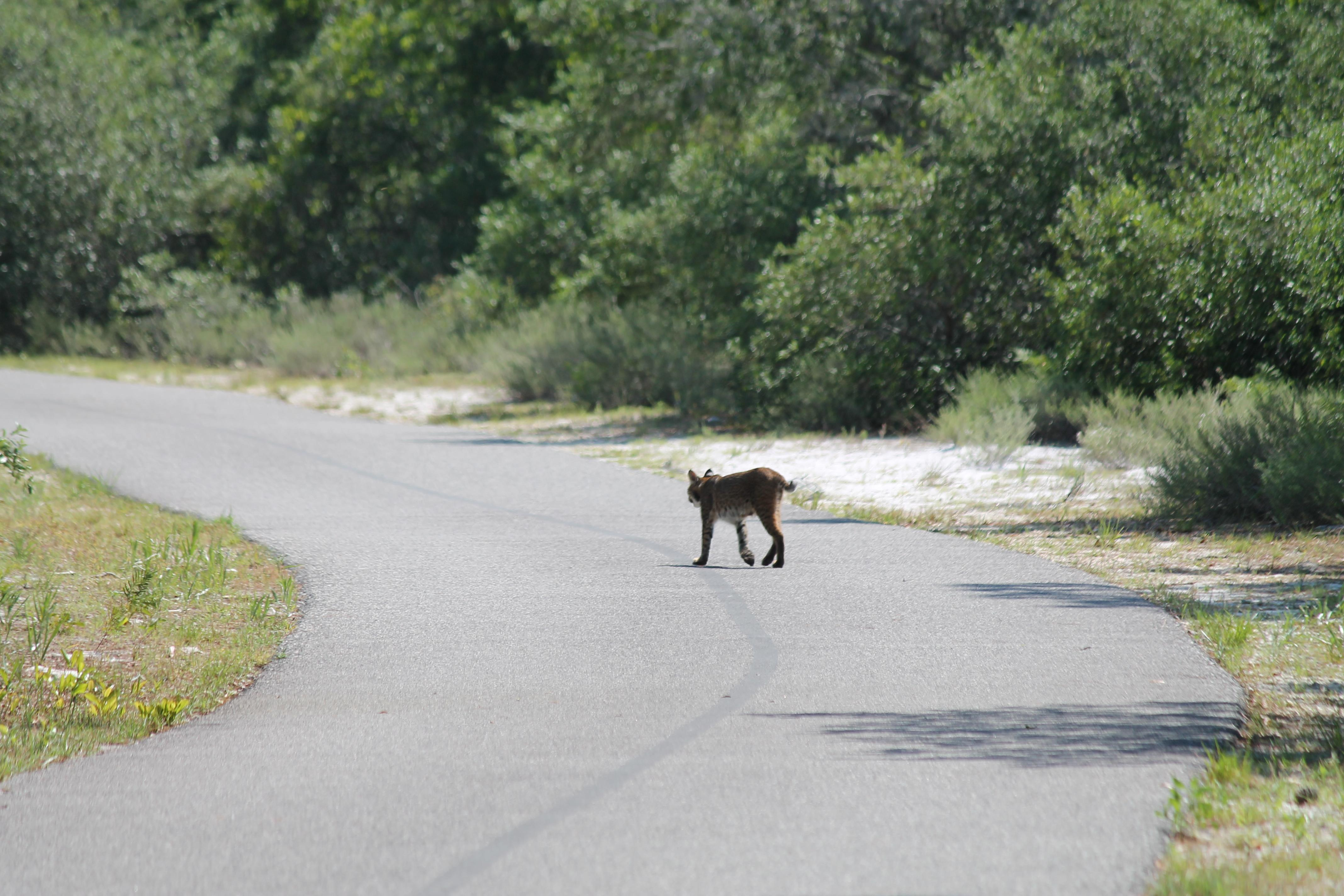 Bobcat Crossing Rosemary Dunes Trail. Photo by Farren Dell
