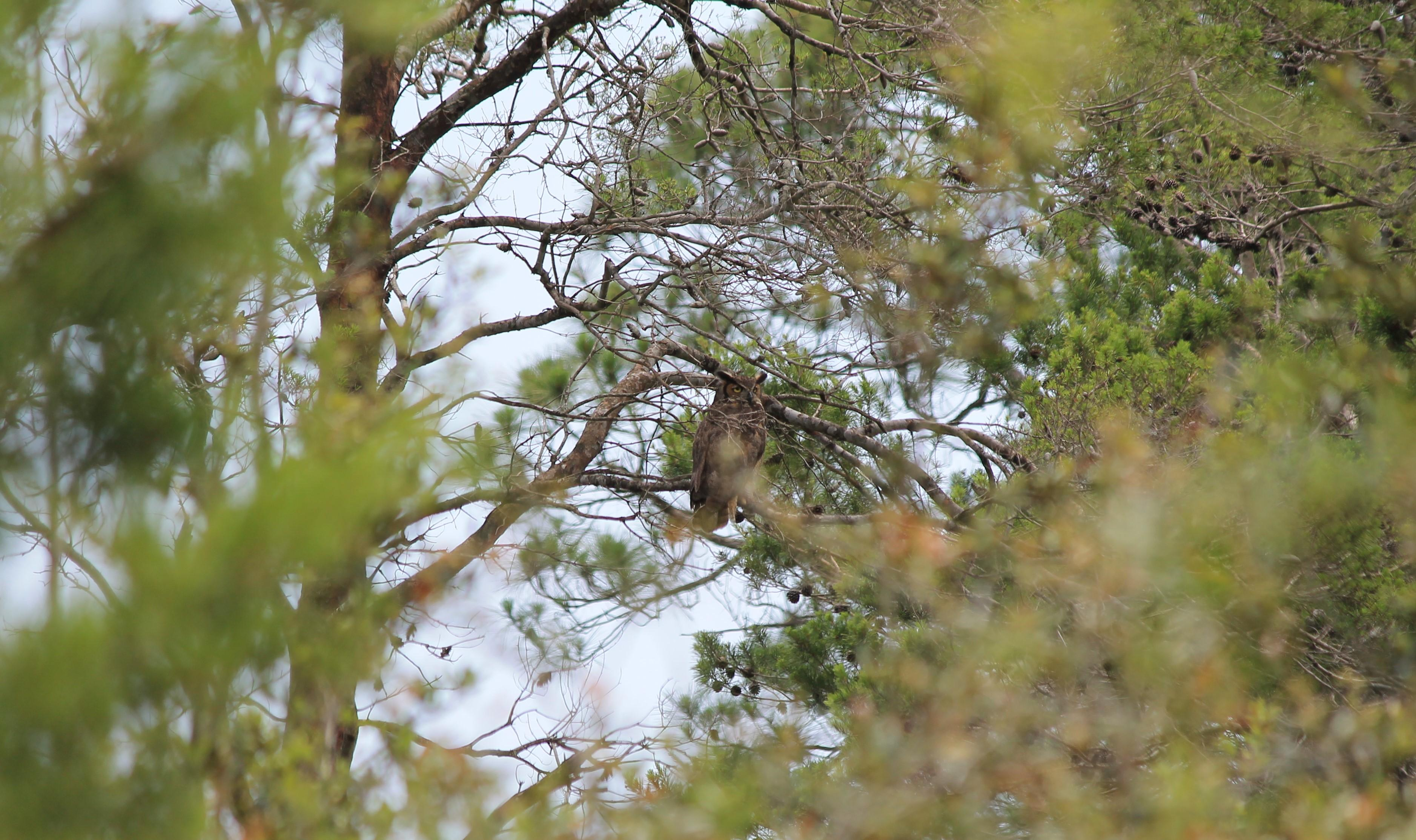 Great-Horned Owl Perched in a Pine Tree. Photo by Farren Dell