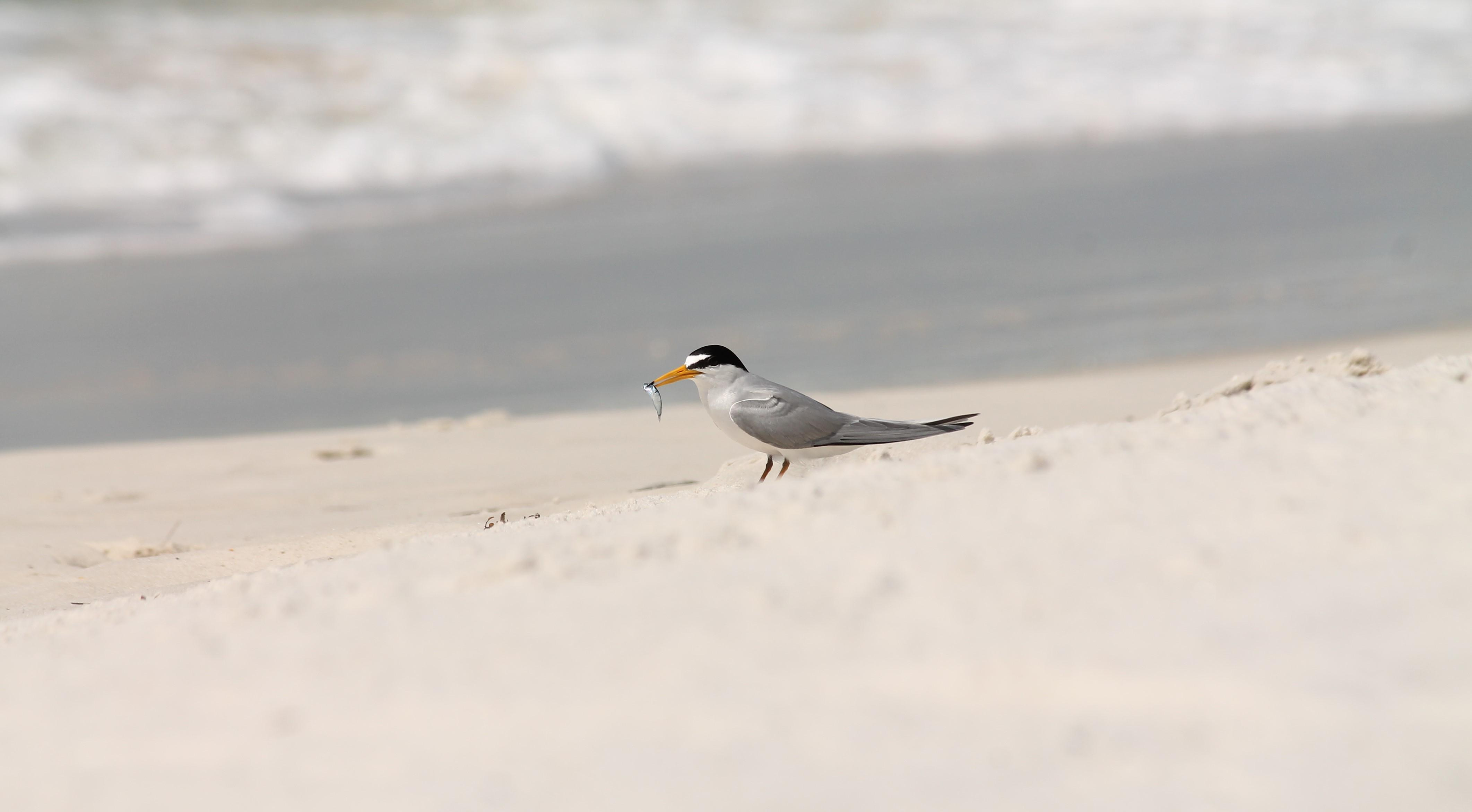 Least Tern With a Catch