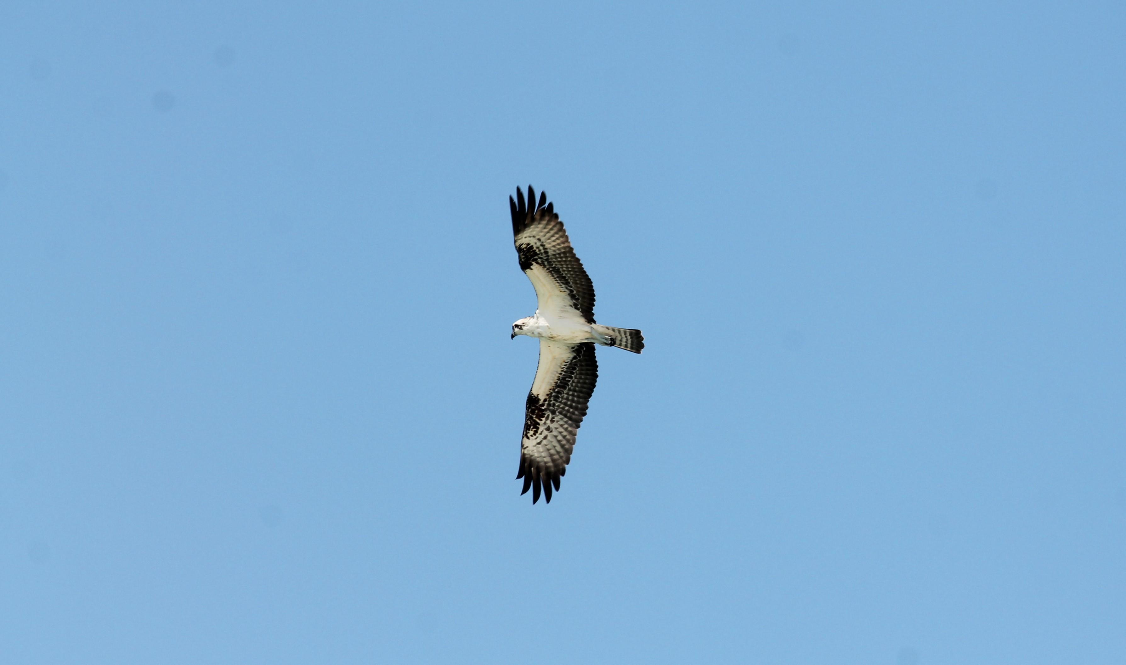 Osprey Soars Through the Sky