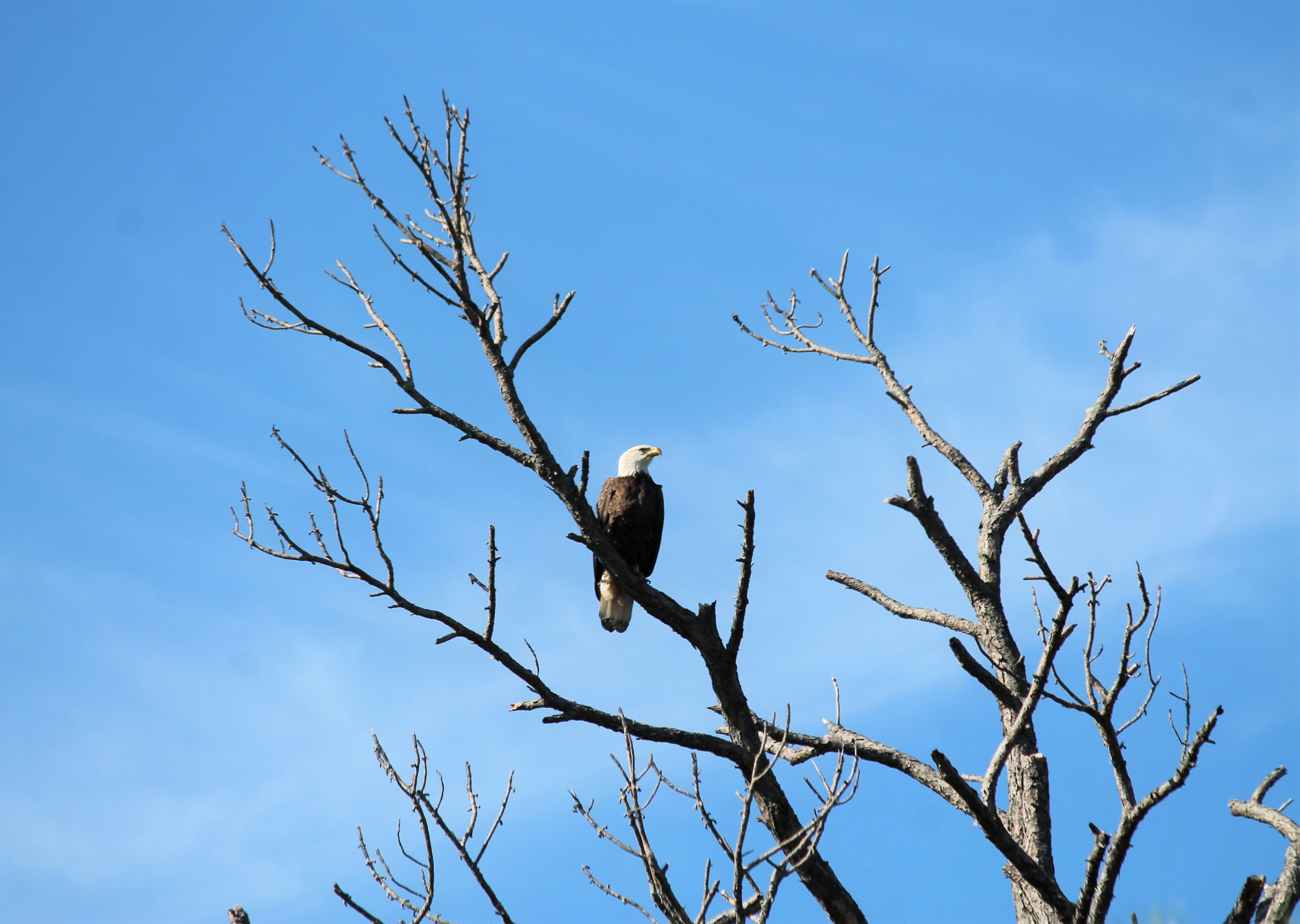 Bald Eagle Perched on a Tree. Photo by Farren Dell