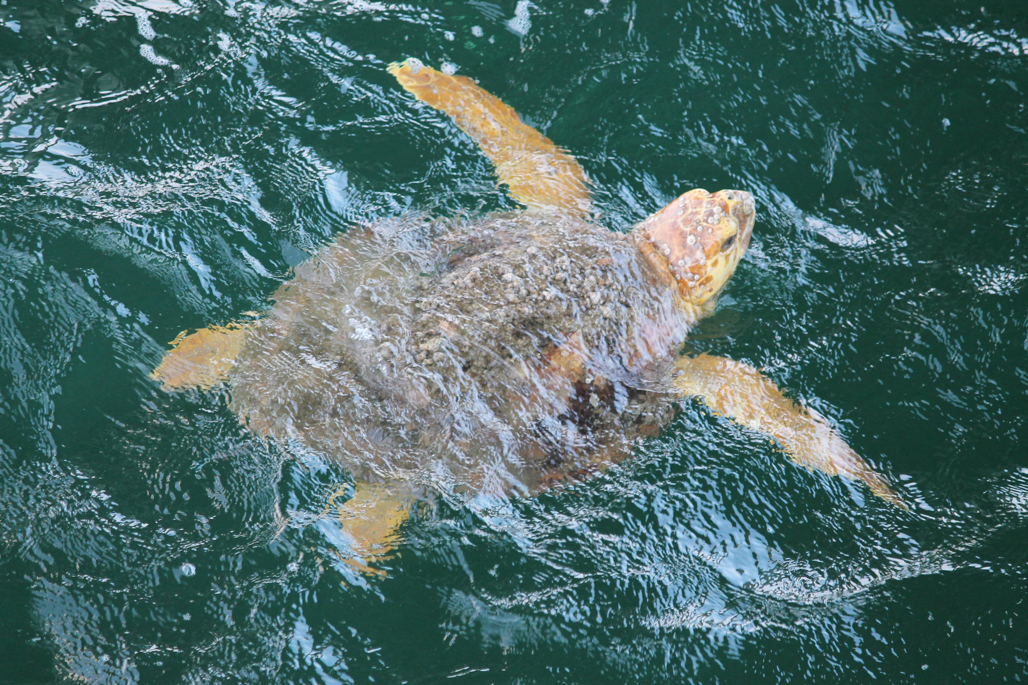 Loggerhead Sea Turtle Spotted from the Pier. Photo by Farren Dell