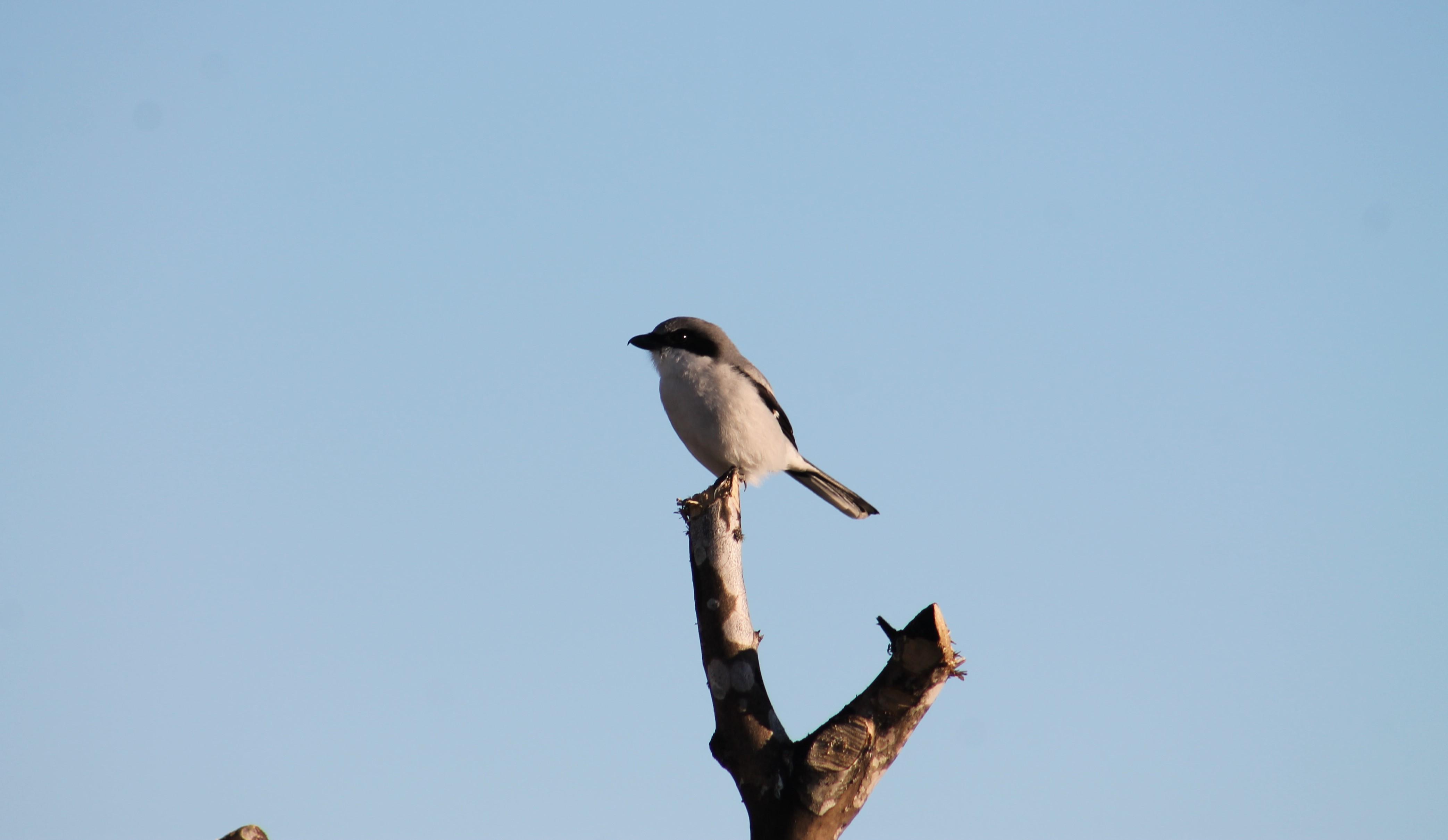 Loggerhead Shrike Perched on a Tree. Photo by Farren Dell