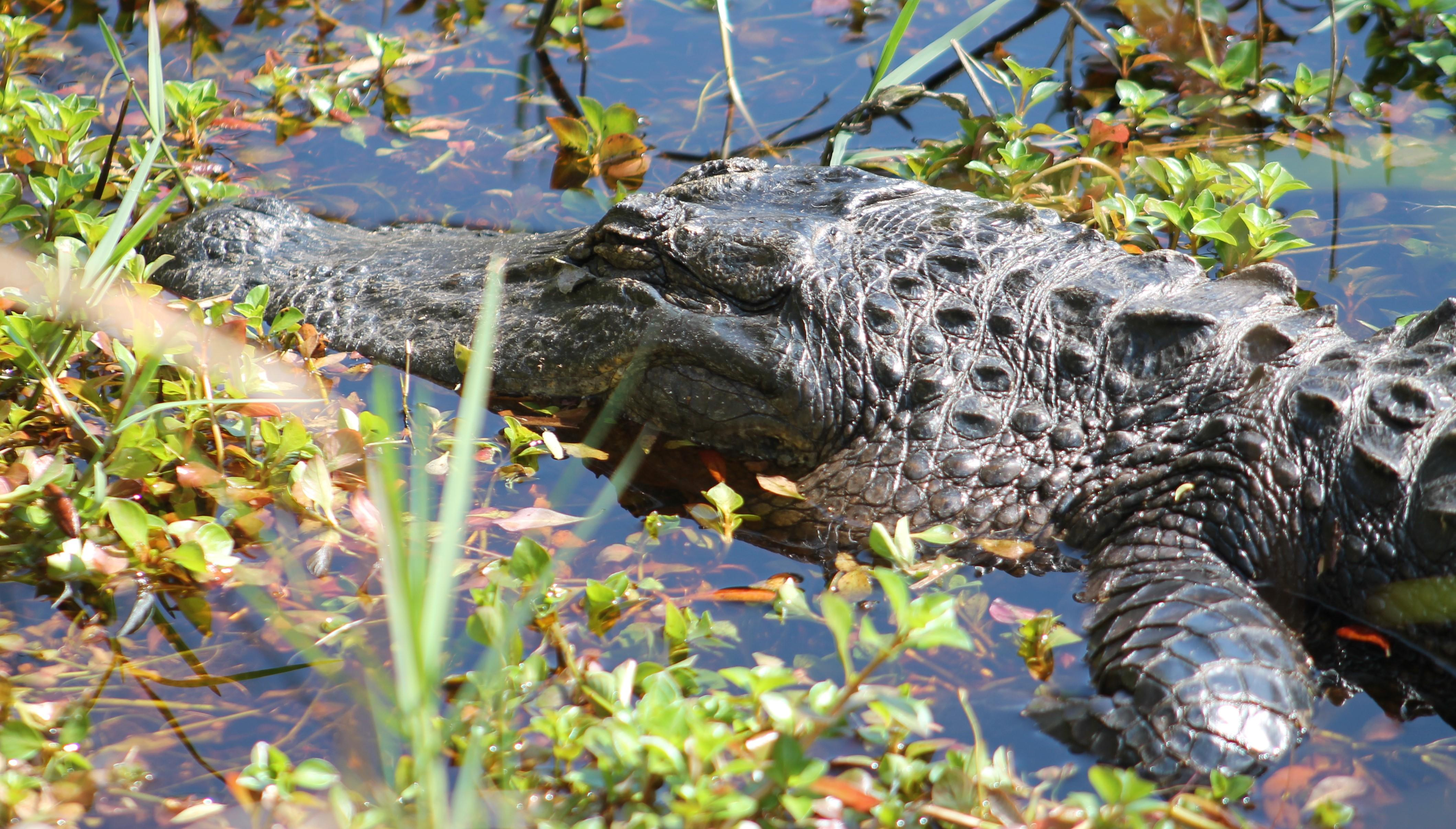 Alligator Basking Near a Trail. Photo by Farren Dell