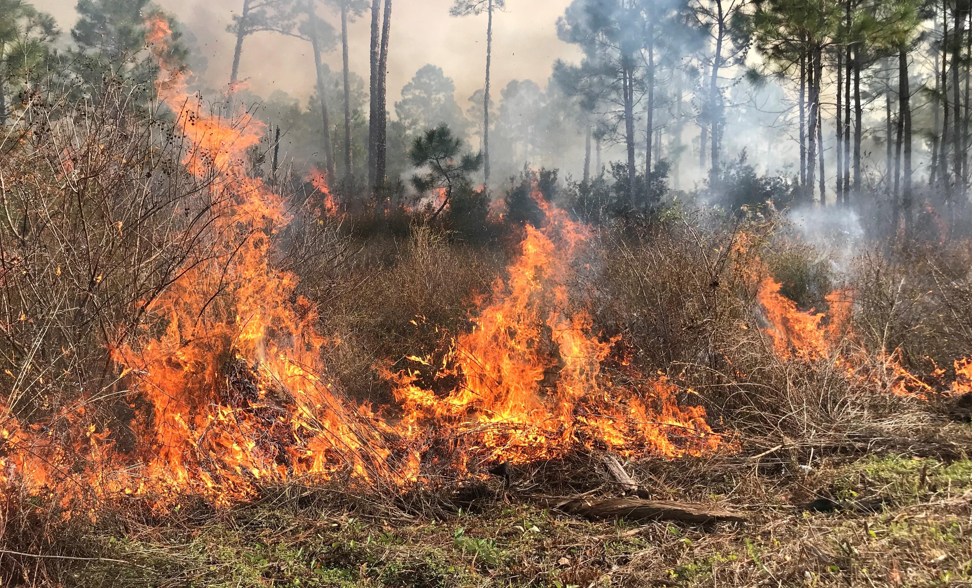 Prescribed Burning in Gulf State Park. Photo by Farren Dell