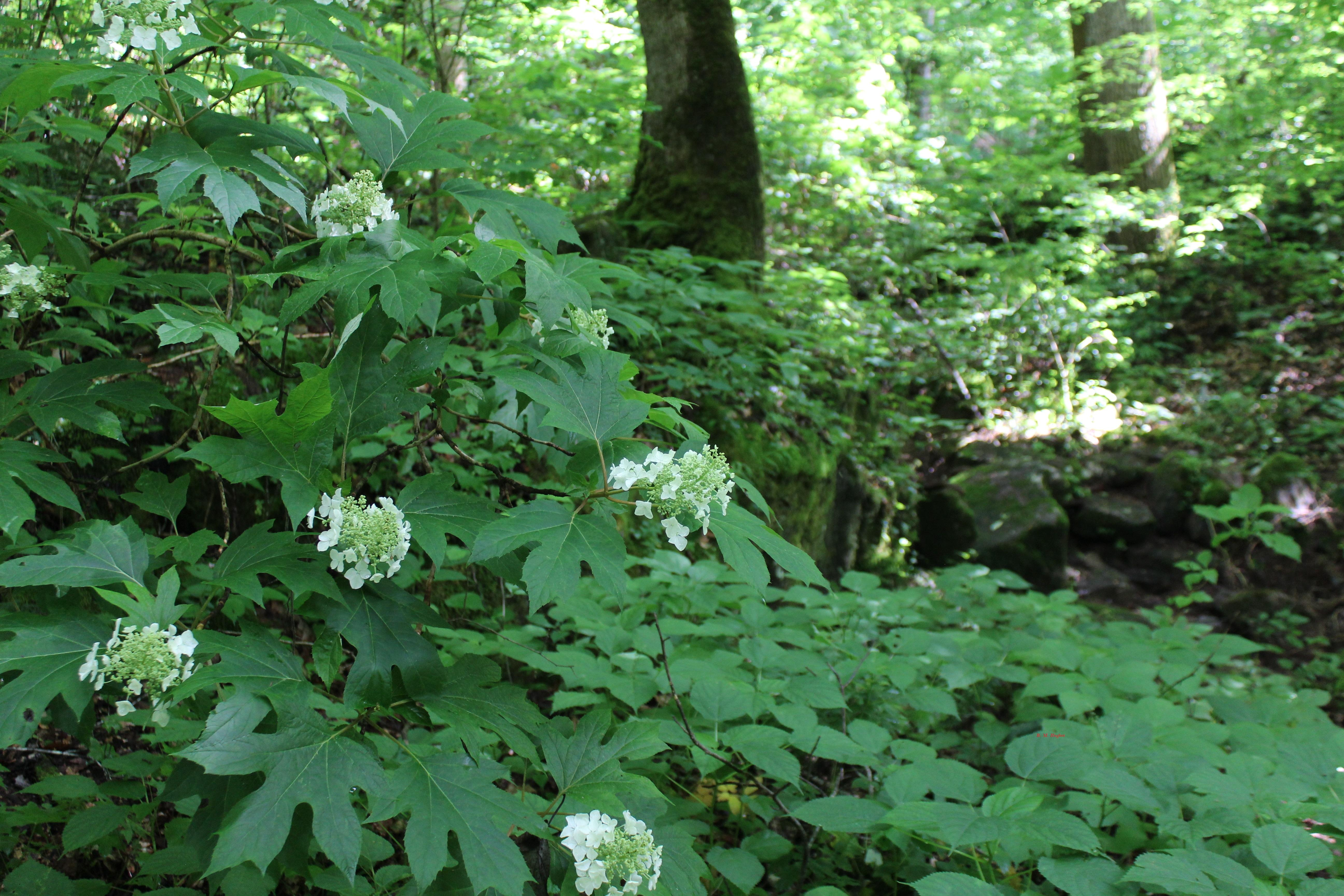 Buck's Pocket State Park Oakleaf Hydrangeas